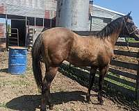 roan-champion-foundation-bred-horse