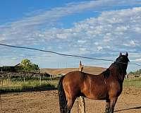 bay-ialha-horse
