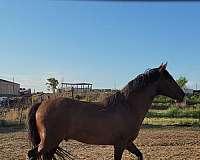 ialha-andalusian-stallion
