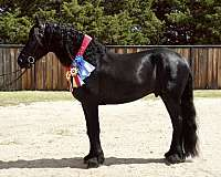 driving-friesian-horse