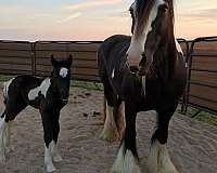 cross-friesian-horse