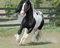 great-movement-gypsy-vanner-horse