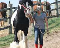 one-owner-gypsy-vanner-horse