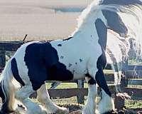 tobiano-white-blaze-four-stockings-horse