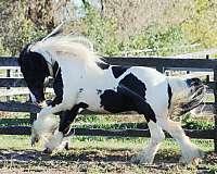 gypsy-stallion-vanner-horse