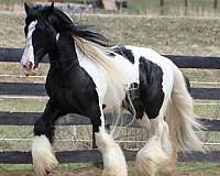 all-breeds-gypsy-vanner-horse