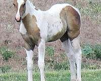 mks-black-pepper-paint-horse