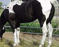 homozygous-tobiano-horse