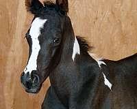 halter-paint-horse