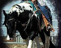black-tobiano-horse
