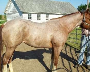 AQHA Red Roan Stallion