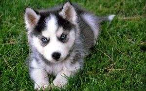 Siberian Husky Puppies For Adoption On Equinenow