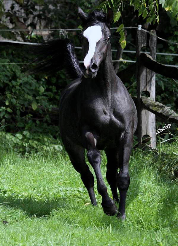 breeding-stock-arabian-horse