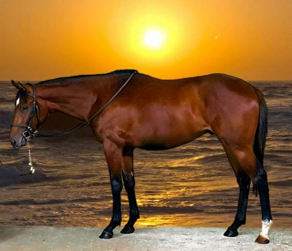 eventing-horses-for-sale-thoroughbred