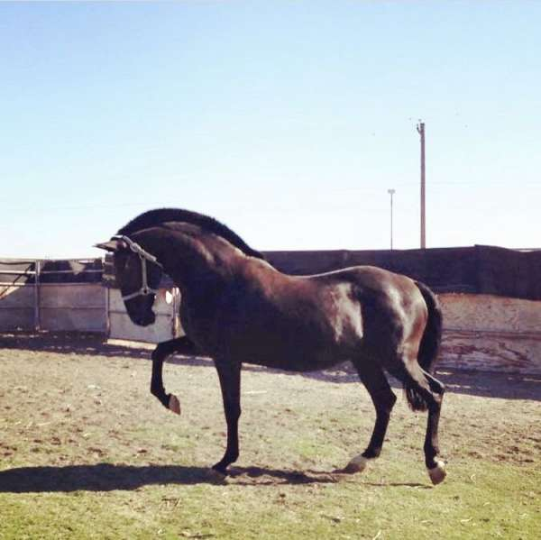 ranch-trained-lusitano-horse