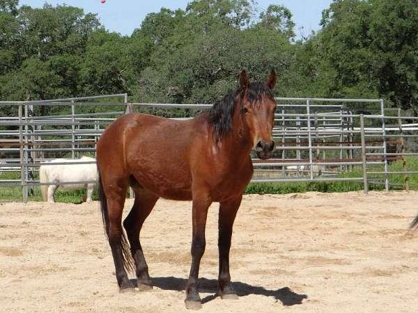 monty-roberts-mustang-horse