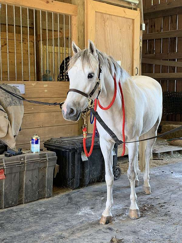 home-welsh-pony