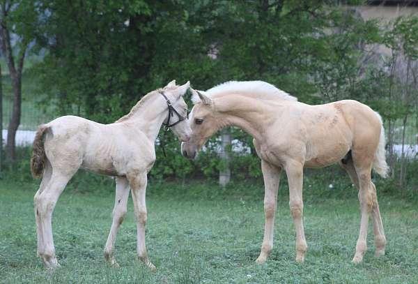gaucho-iii-andalusian-horse