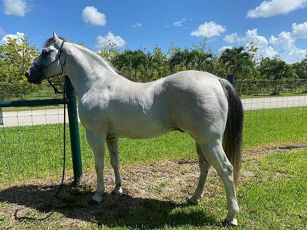 grey-quarter-horse-stallion