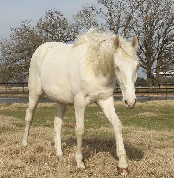 gaited-colt-stallion
