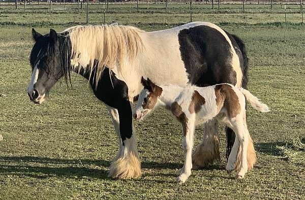filly-gypsy-vanner-horse