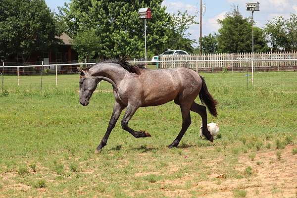 champion-lines-andalusian-horse