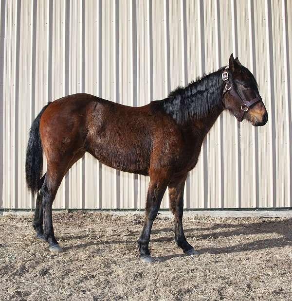 quarter-horse-mare