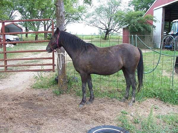 smokey-black-welsh-pony-colt