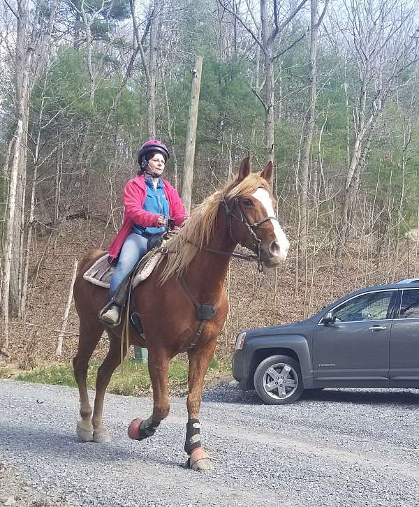 experienced-gaited-horse-for-sale-in-va-racking