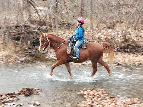 tennessee-walking-horse-for-sale-in-va-racking