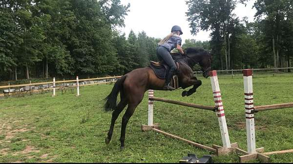 hunter-jumper-thoroughbred-horse
