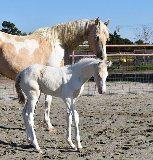 legacy-saddlebred-horse