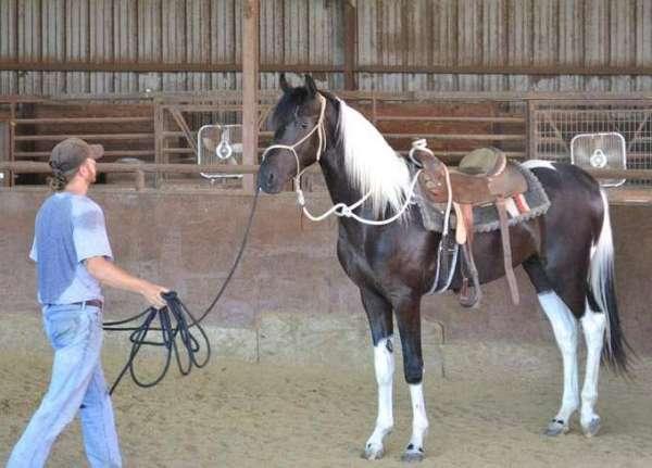 national-champion-saddlebred-horse