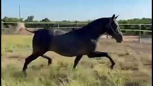 stockton-horse