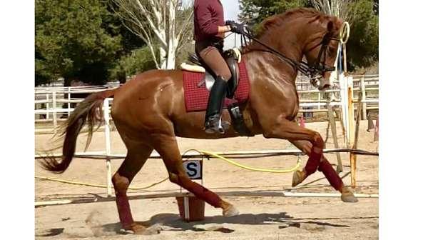prix-sant-george-level-warmblood-horse