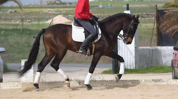 any-rider-andalusian-horse