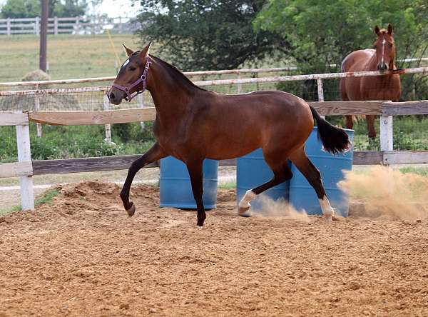 pre-andalusians-horse