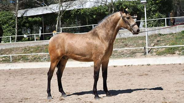 andalusian-colt-great-height-horse