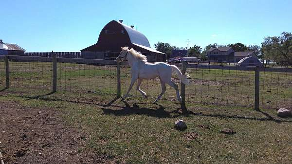 double-dilute-pinto-horse