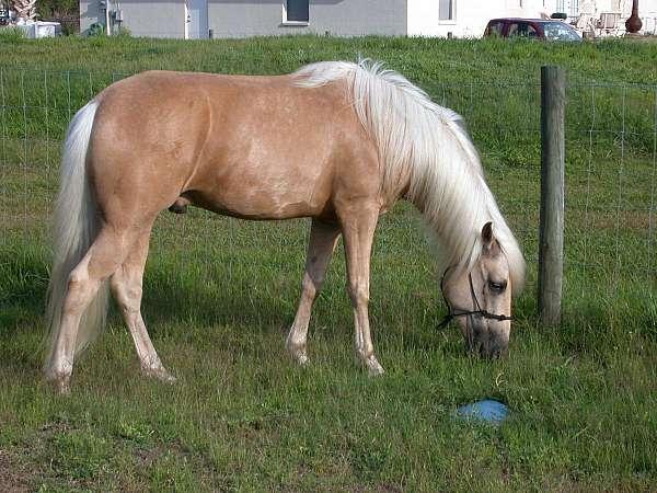 palomino-gaited-show-horse