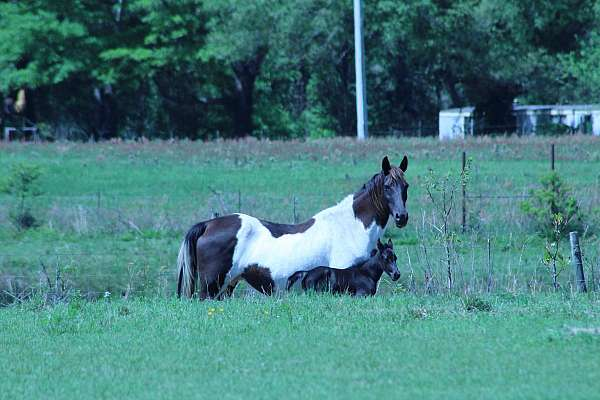 blue-roan-roan-spotted-filly-mare