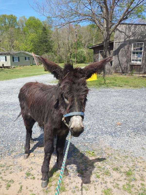 long-haired-donkey