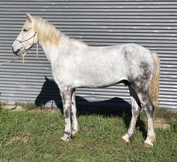 cross-ranch-percheron-peruvian-paso-horse