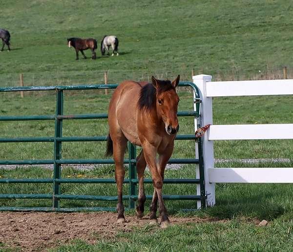 dun-stipes-horse