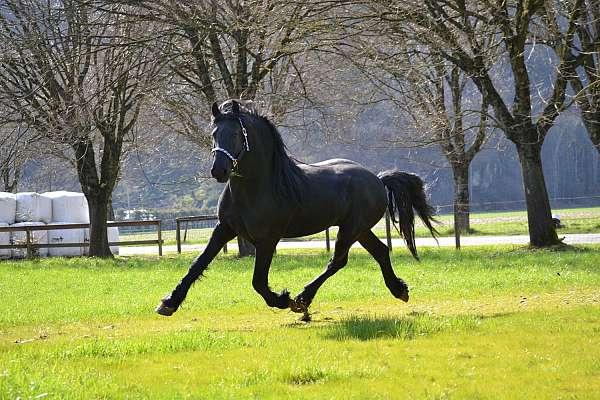 started-under-saddle-stallion-foal