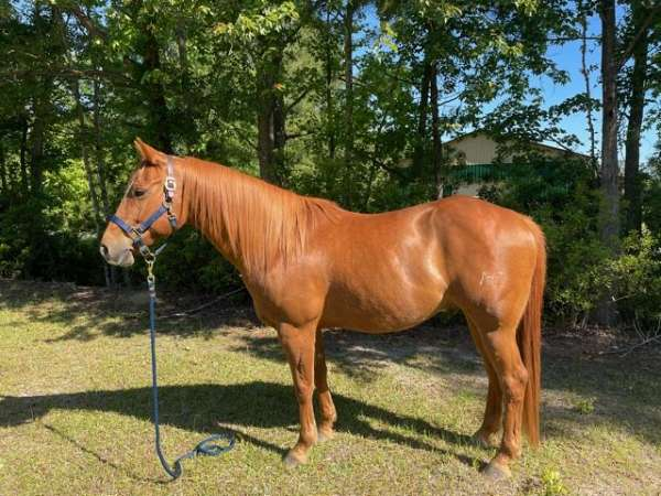star-strip-left-hind-coronet-partially-white-horse