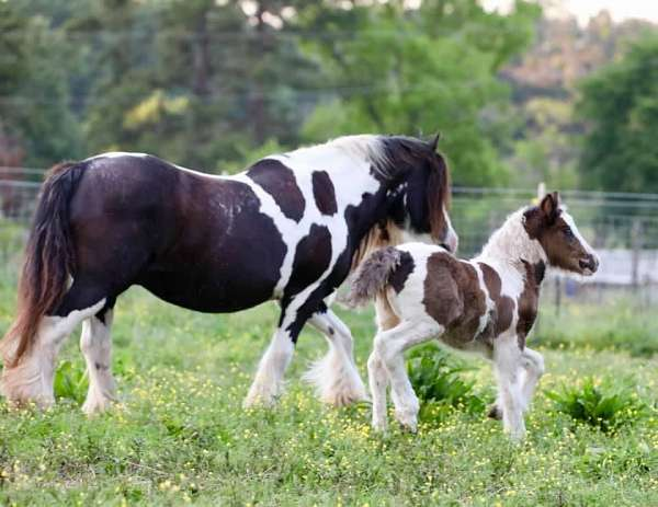 driving-gypsy-vanner-horse