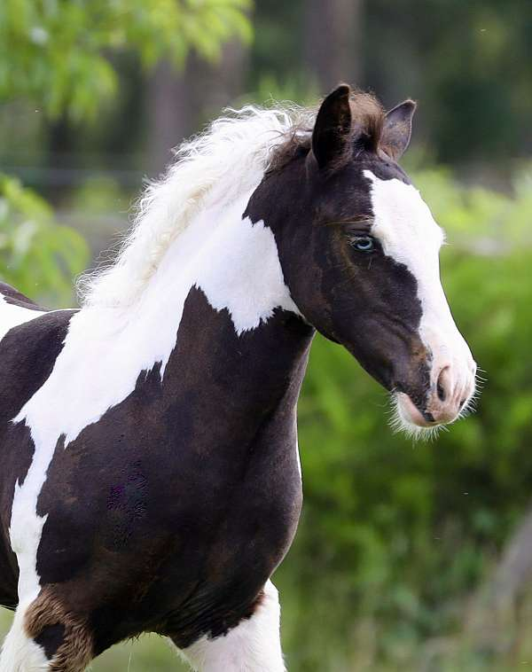 piebald-showmanship-horse