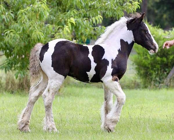 piebald-homozygous-black-horse