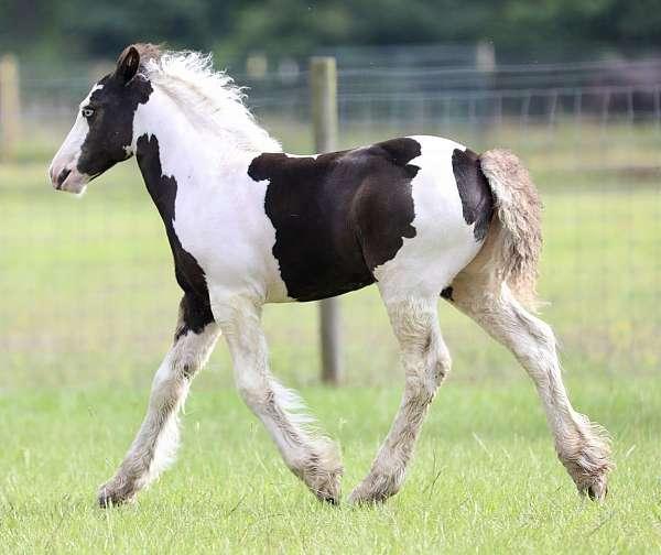 breeding-gypsy-vanner-horse
